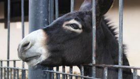 Арешти мулів і пастухів. Як не попастися?